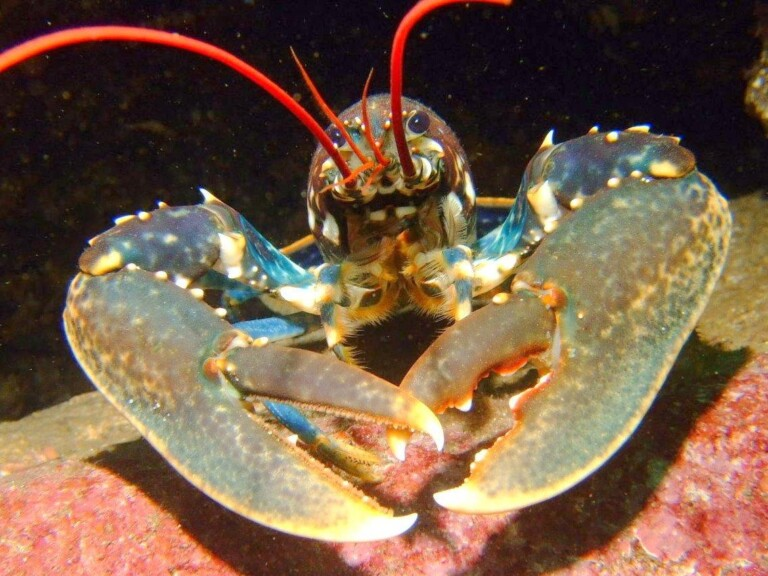 Common lobster