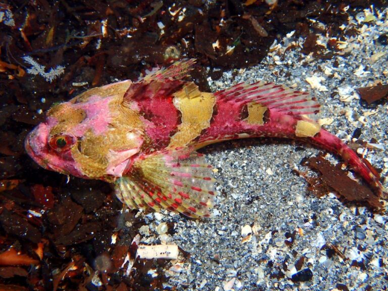 Long-spined sea scorpion